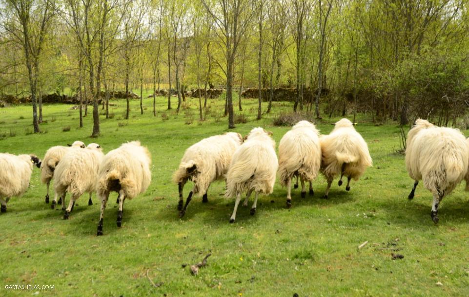 Rebaño de ovejas en Los Santos (Salamanca)