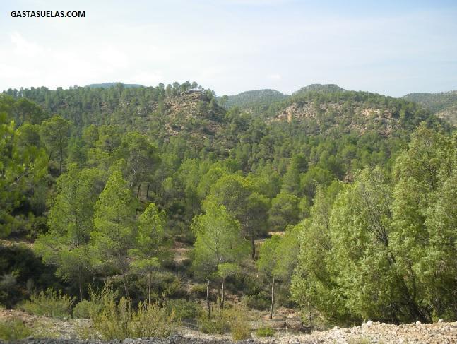 Pinares en el Valle del Cabriel