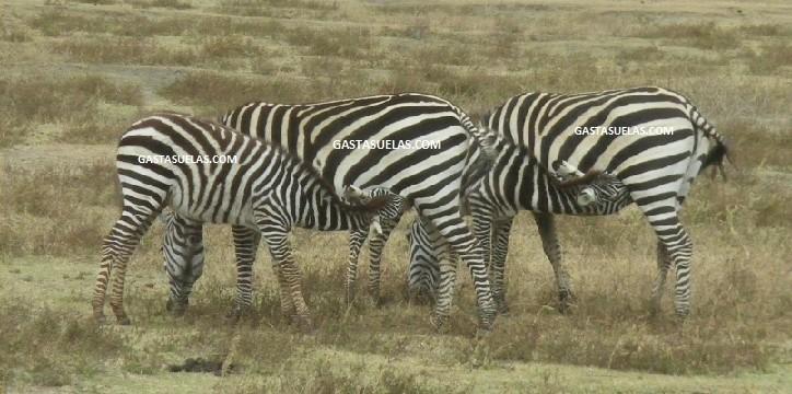 Zebras Ngorongoro Tanzania