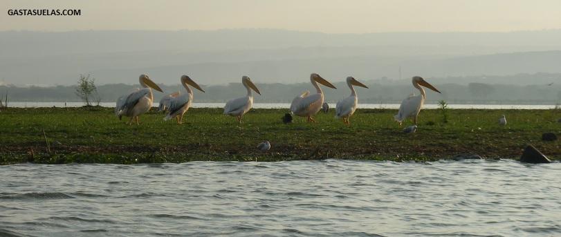 pelicanos crescent island
