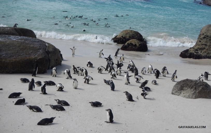 pinguino-africano-boulders