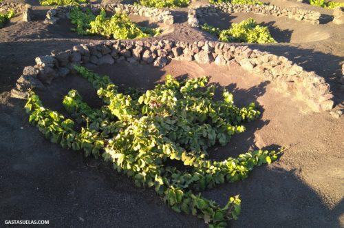 Cultivo tradicional de la vid en La Geria (Lanzarote)