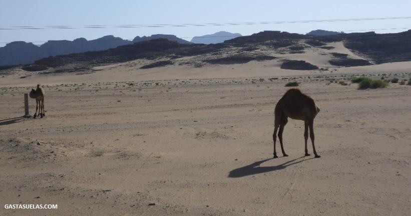 Dromedarios tímidos en Wadi Rum (Jordania)