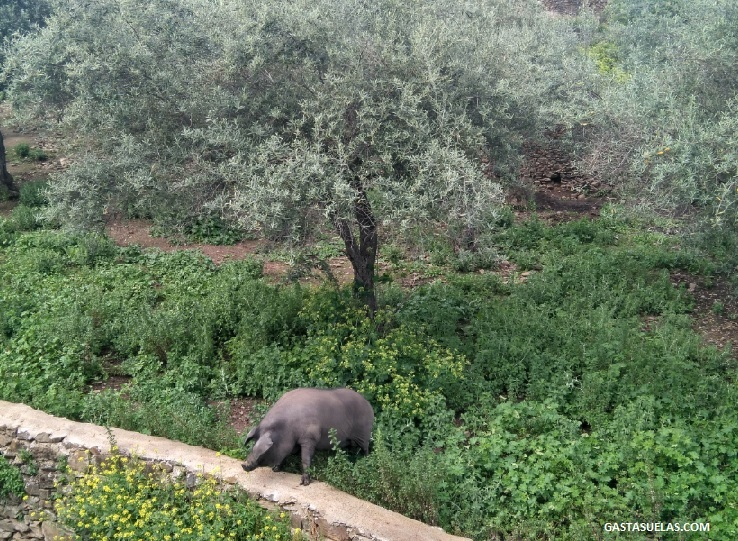 cerdo ibérico en Granadilla (Cáceres)