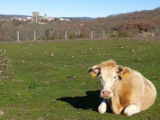 Vistas de una fotogénica vaca y de Monleón (Salamanca)